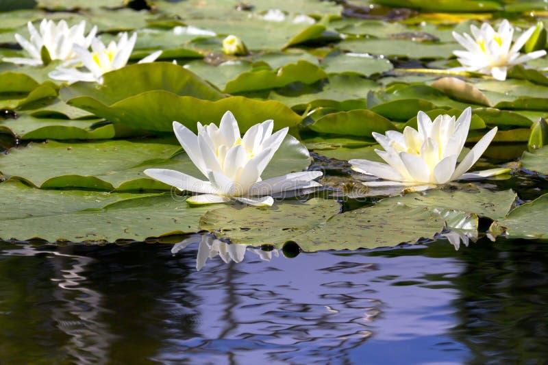 Лилии белой воды на озере стоковое изображение