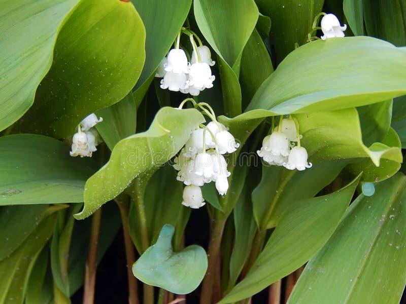 Лилии весны долины в glade леса стоковые изображения rf