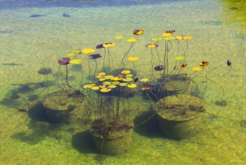 Лилии воды в парке Aivazovsky Крым Partenit стоковое изображение rf