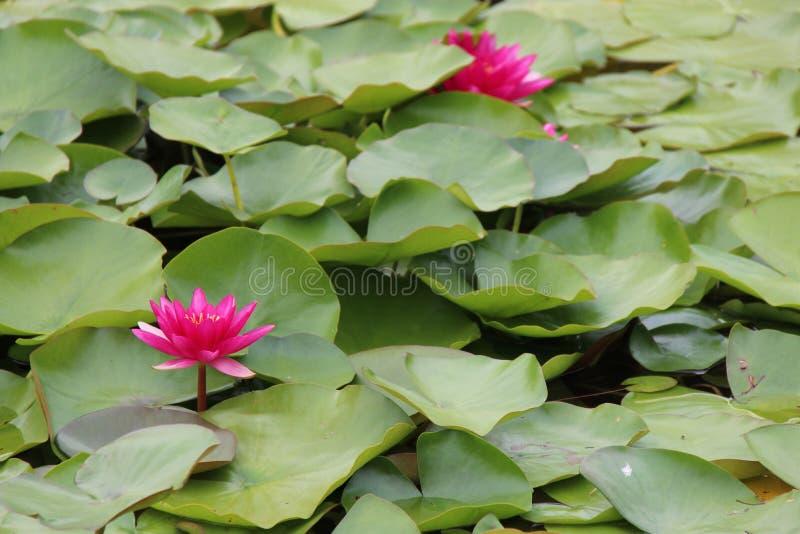 Лилии воды зацветают в пруде в садах замка Schonbrunn в вене (Австрия) стоковое фото rf