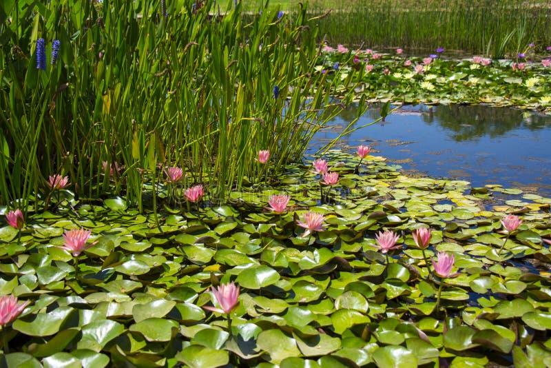 Лилии воды на пруде стоковые фотографии rf