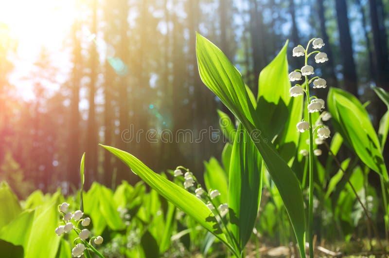 Лилии долины в лесе стоковые изображения