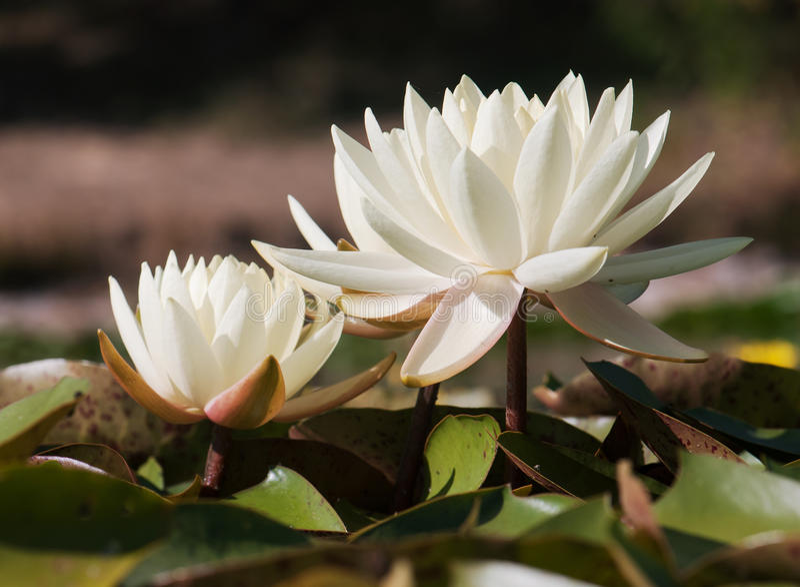 Лилия белой воды в пруде сада стоковое фото rf