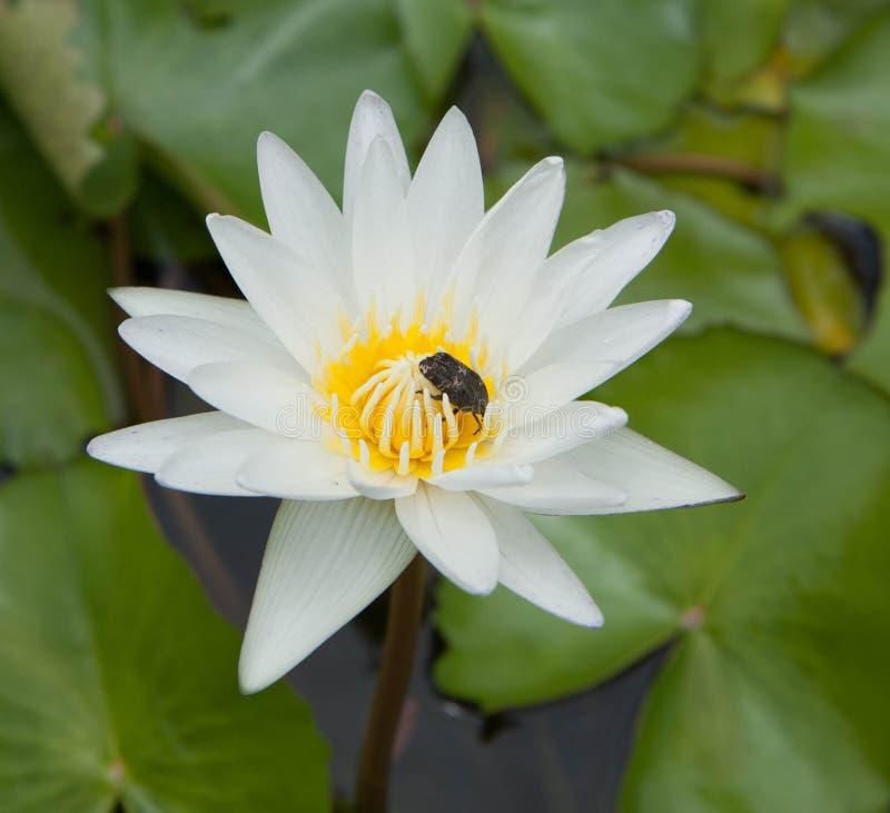 Лилия белой воды и большое насекомое стоковые изображения rf