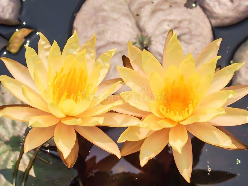Лилия воды, желтый лотос стоковое изображение