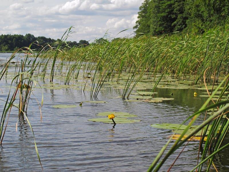 Лилия воды с тростником стоковая фотография