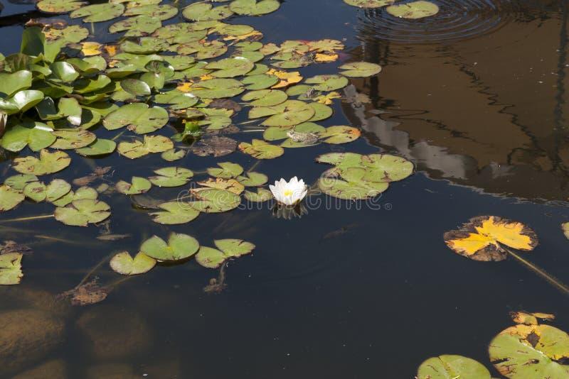 Лилия воды цветет sunlit на озере В воде отражение фото неба и холма стоковое изображение