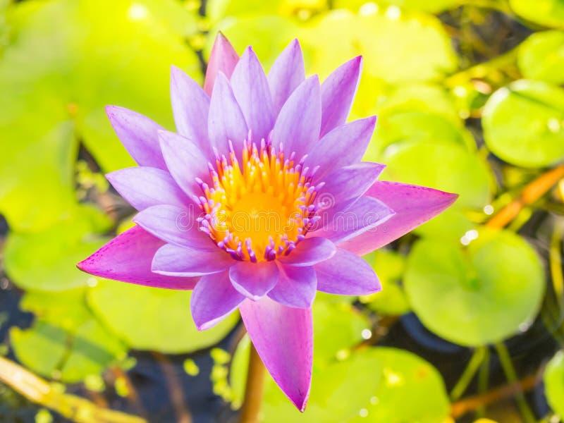 Лилия воды цветка лотоса полного цветения стоковое изображение