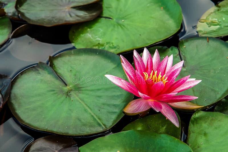 Лилия воды Nymphaea стоковая фотография rf