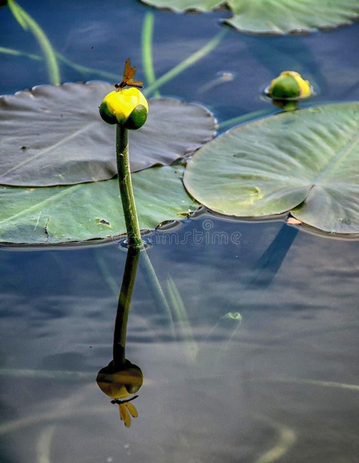 Лилия желтого пруда стоковое изображение rf