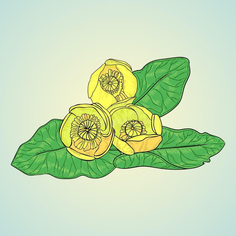 Лилия желтой воды иллюстрация вектора