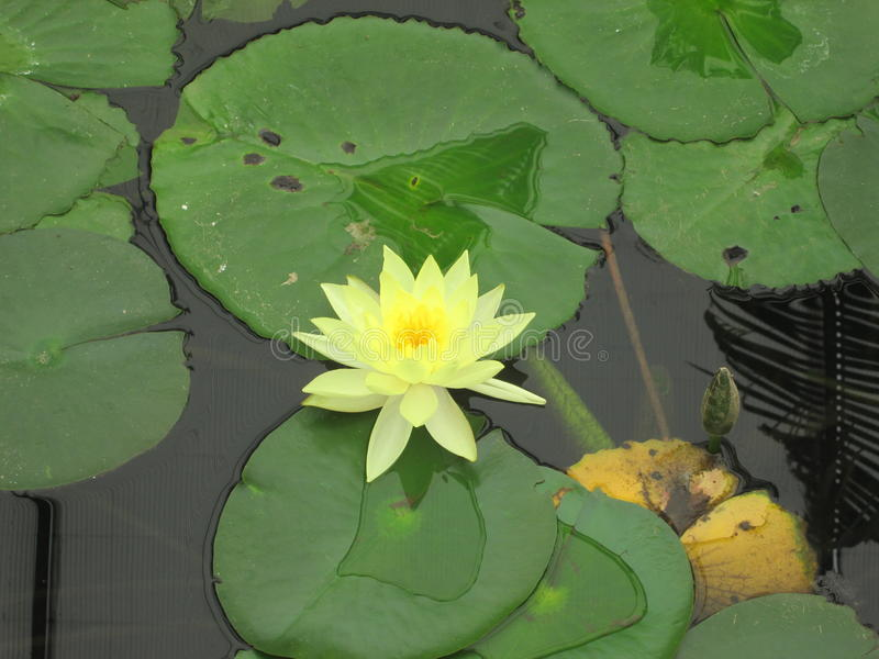 Лилия желтой воды стоковое фото rf