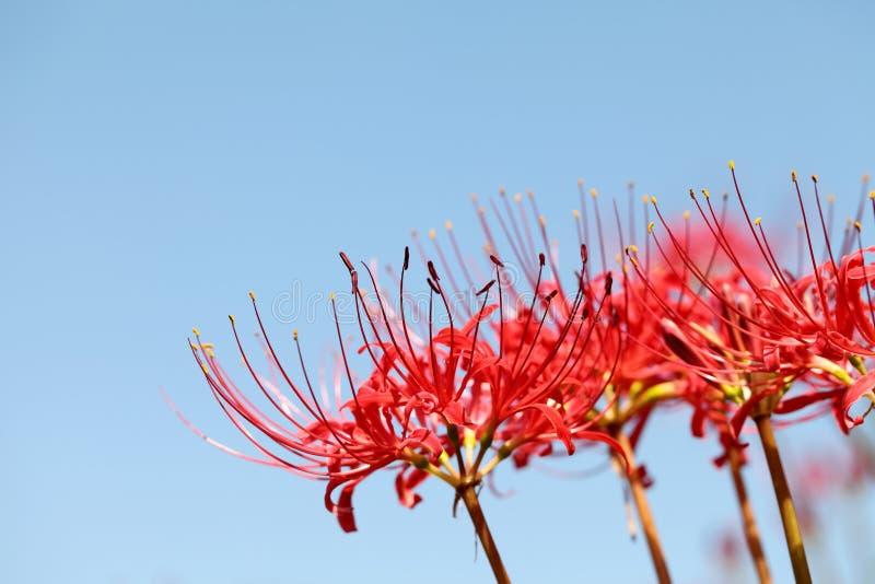 Download Лилия красного спайдера стоковое изображение. изображение насчитывающей цветок - 33736249
