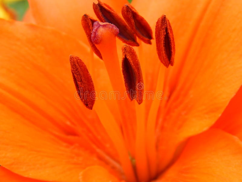 Лилия макроса красная в моем саде стоковое изображение
