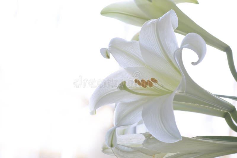 Лилия пасхи стоковая фотография