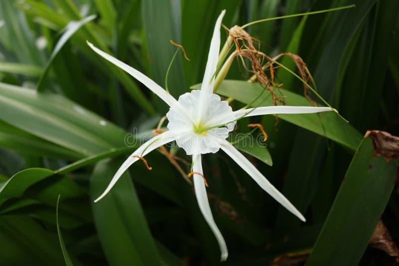 Лилия паука стоковое изображение