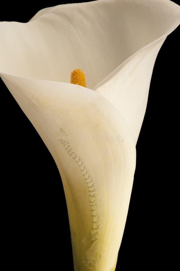Лилия позвоночника стоковое изображение