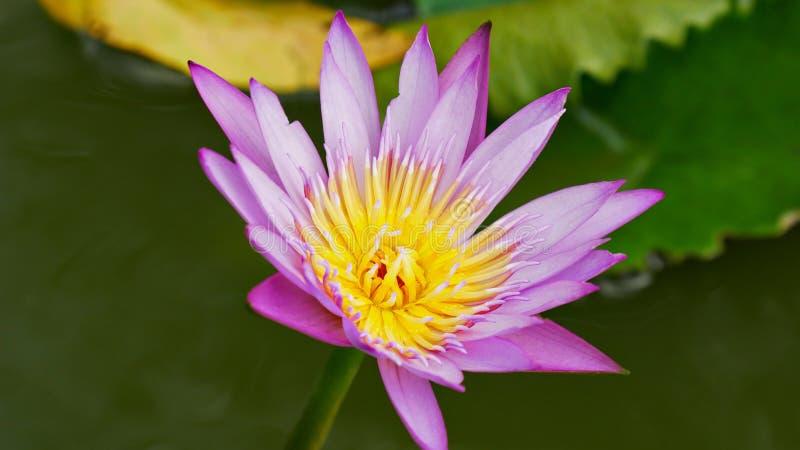 Лилия розовой и желтой воды, topview полного цветения стоковое изображение