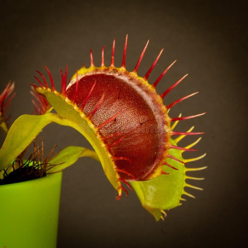 Ловушка мухы Венеры стоковые изображения
