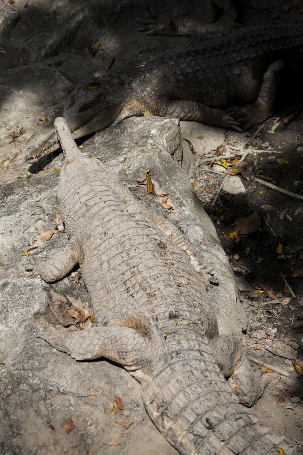 Ложное gharial стоковые фото