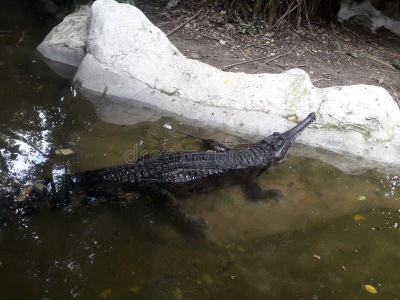 Ложное gharial стоковые изображения