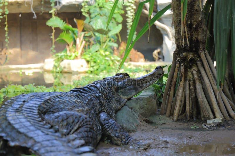 Ложное gharial стоковое фото rf