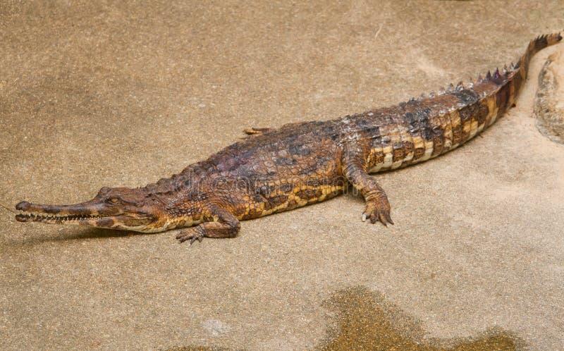 Ложное gharial (schlegelii Tomistoma) стоковое фото