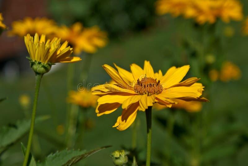 ложные солнцецветы стоковое изображение rf