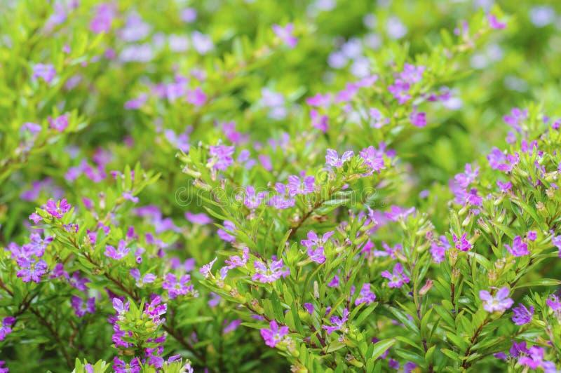 Ложный вереск, Elfin трава или hyssopifola Cuphea цветки Макрос, селективный фокус стоковые фотографии rf