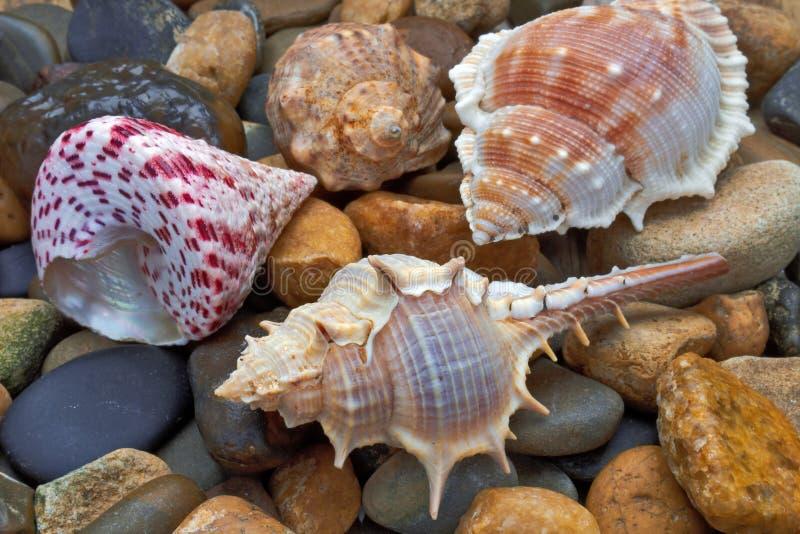 Ложь раковин моря на камнях стоковая фотография