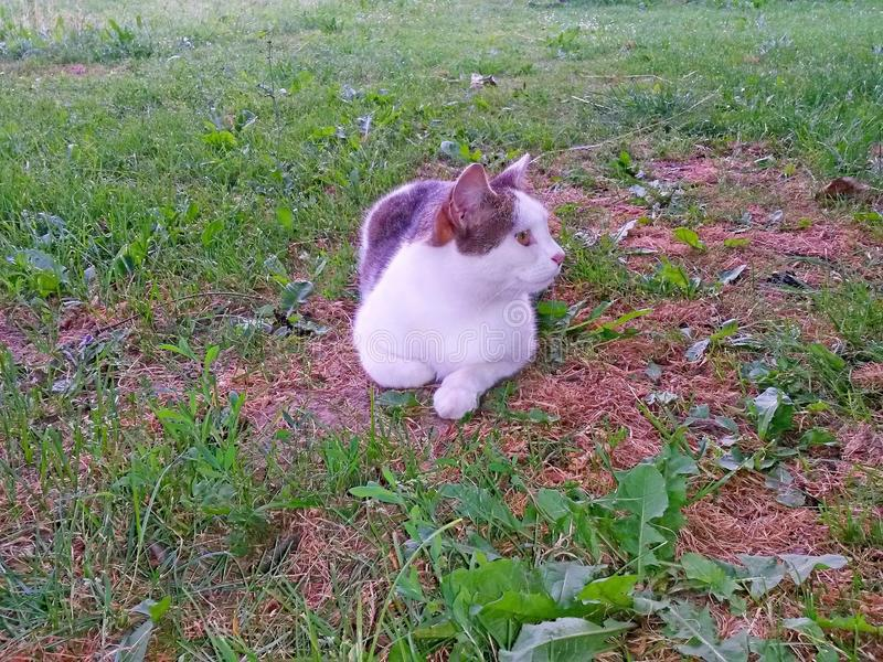 Лож и отдохновение tabby кота белые на траве в тени стоковое фото rf