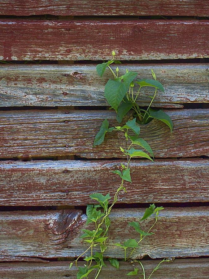 Download Лоза взбираясь старая стена амбара Стоковое Изображение - изображение насчитывающей barman, лоза: 81812513
