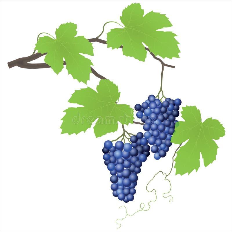 лоза виноградины иллюстрация штока