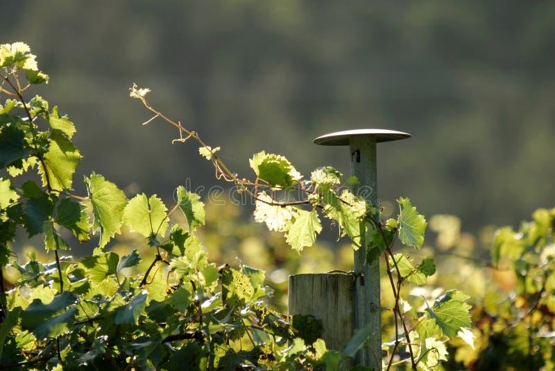 лоза виноградины стоковые фотографии rf