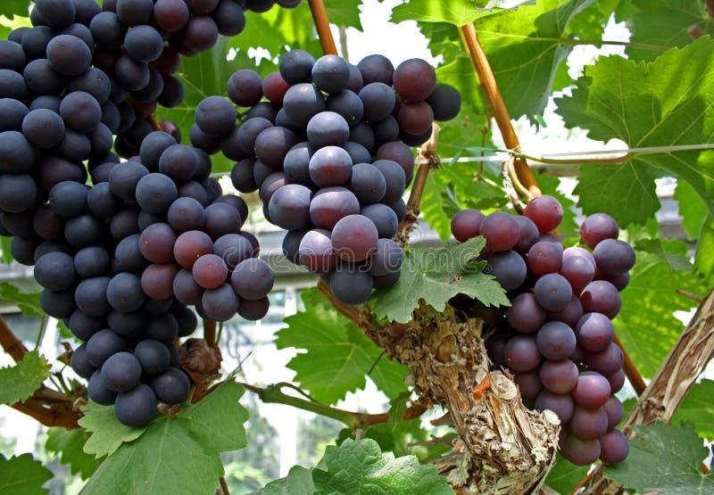 лоза виноградин стоковое фото