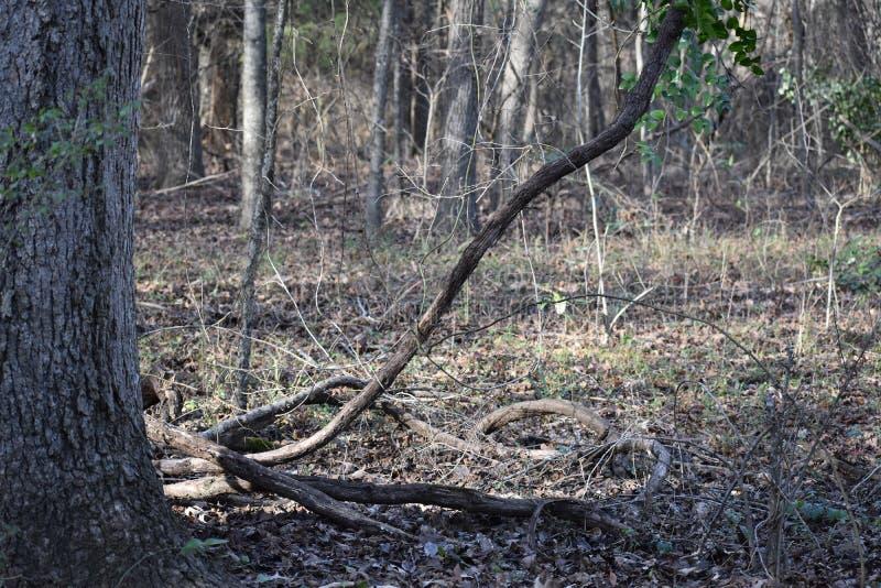 Лоза в восточных древесинах Техаса стоковое изображение