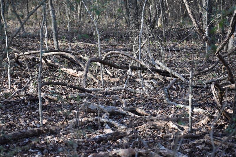 Лоза в восточных древесинах Техаса стоковые фото
