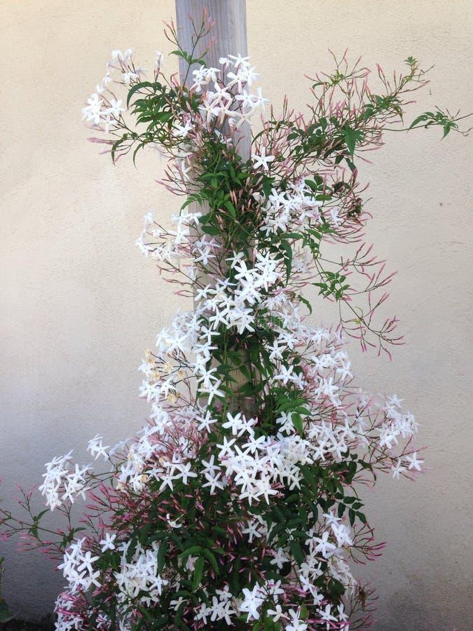 Лоза жасмина в цветени стоковое фото rf