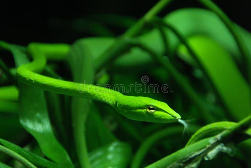 лоза змейки стоковые фотографии rf