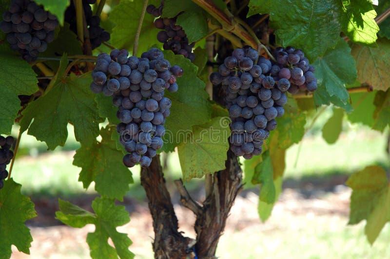 лоза слияния виноградины стоковые фотографии rf