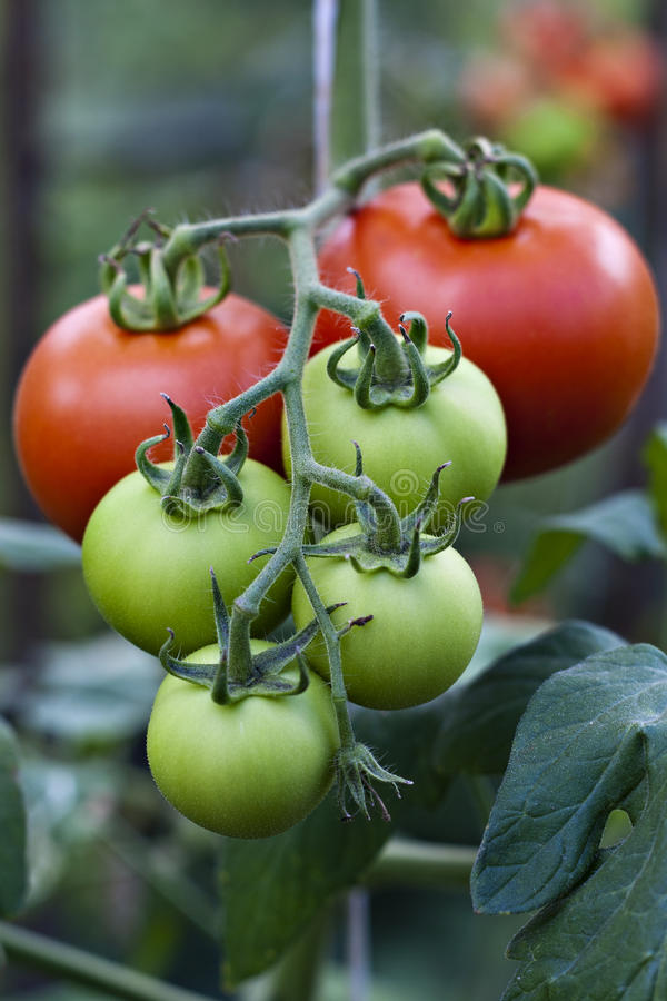 лоза томата стоковые фото