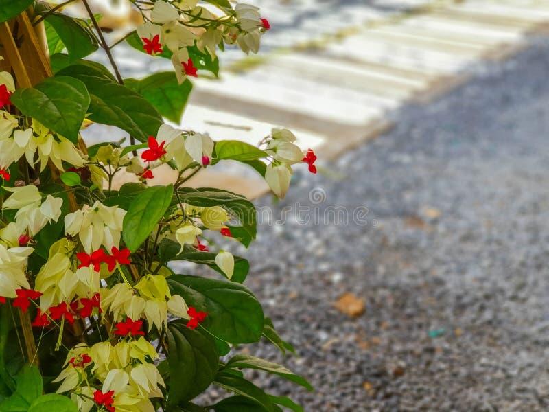 Лоза чуткого человека, цветок стоковое изображение rf