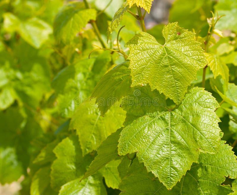 лоза malta листьев стоковые фотографии rf