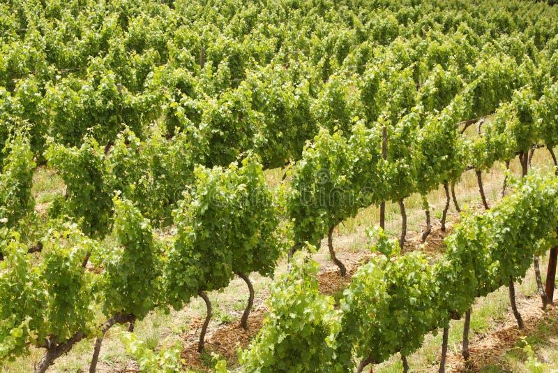 Лозы виноградины, Stellenbosch, Южная Африка стоковое фото rf