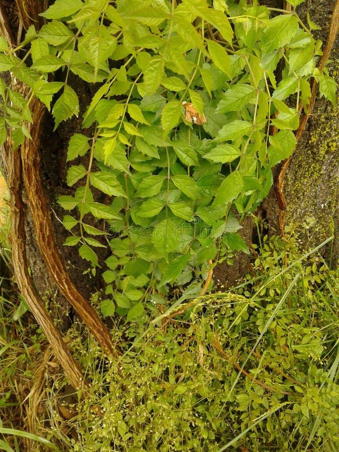 Лозы на старом дереве стоковые фото