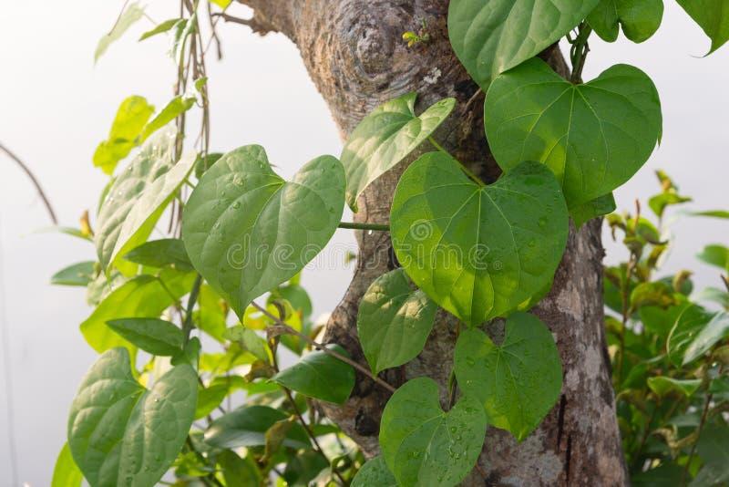 Лозы плюща растя на дереве стоковое изображение rf