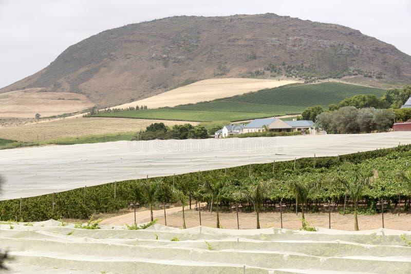 Лозы под крышкой горы kanonkop Африки известные приближают к рисуночному южному винограднику весны стоковые фотографии rf