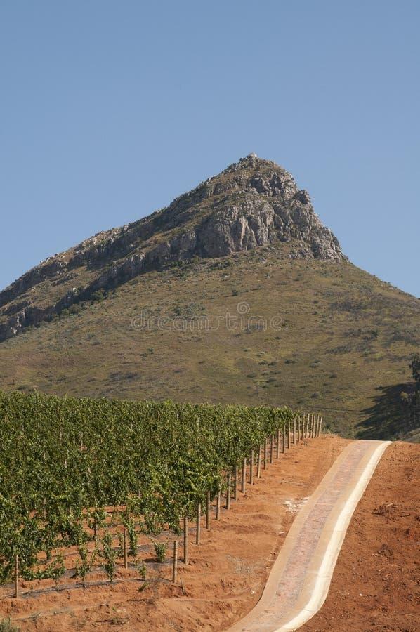 Лозы растя в накидке s Африке красной почвы западной стоковое изображение rf