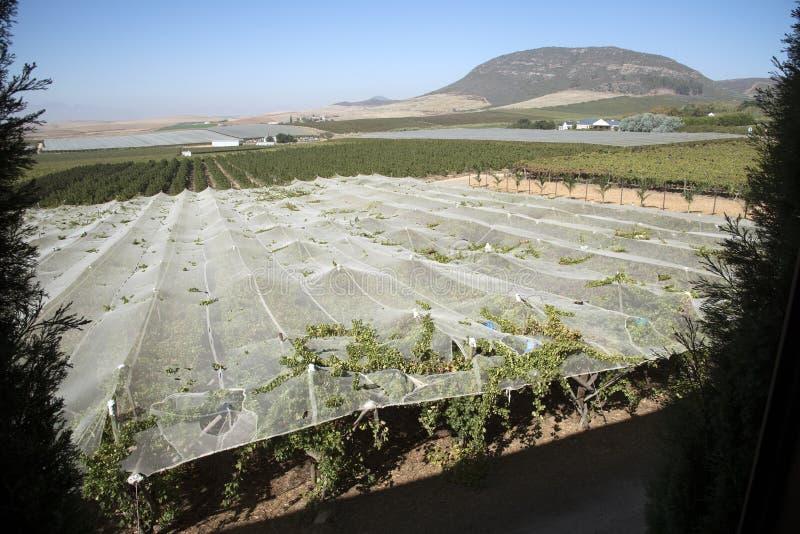Лозы растя под полиэтиленовой пленкой в зоне Swartland Южной Африки стоковое изображение rf