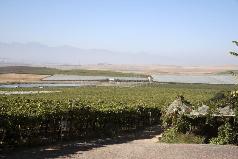 Лозы растя под полиэтиленовой пленкой в зоне Swartland Южной Африки стоковое фото rf